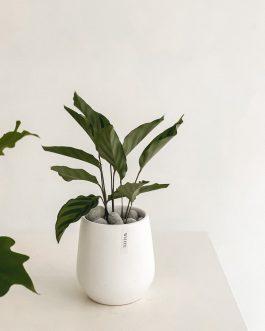 質感植栽-劍尾竹竽|White flower